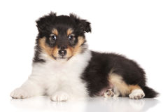Sheltie puppy lying on white background Royalty Free Stock Images