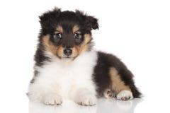 Sheltie puppy lying on white background Royalty Free Stock Image