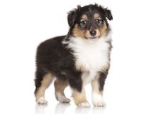 Sheltie puppy posing on white background Stock Photo