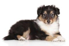 Sheltie puppy on white background Royalty Free Stock Photo