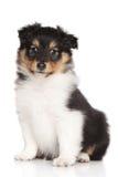 Sheltie puppy on white background Stock Images