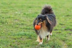 Sheltie que juega con la bola anaranjada Fotos de archivo libres de regalías