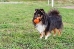 Sheltie que juega con la bola anaranjada en hierba Fotografía de archivo