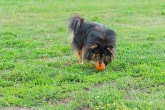 Sheltie que juega con la bola en hierba verde Fotografía de archivo