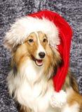 Sheltie Santa Imagens de Stock Royalty Free