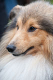 Sheltie - Shetland Sheep Dog Stock Photo