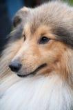 Sheltie - Shetland Sheep Dog Stock Photo