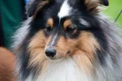 Sheltie - Shetland Sheep Dog Royalty Free Stock Images