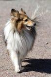 sheltie shetland sheepdog портрета предпосылки близкое вверх по белизне стоковые фотографии rf