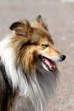 sheltie shetland sheepdog портрета предпосылки близкое вверх по белизне стоковое фото