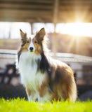 Sheltie Shetland Sheepdog Stock Photography