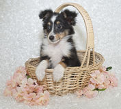 Sheltie (Shetland Sheepdog) Puppy. In basket on a white background. With pink flowers stock photography