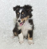 Sheltie (Shetland Sheepdog) Puppy Royalty Free Stock Image