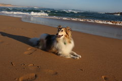 Sheltie on the Shore Royalty Free Stock Image