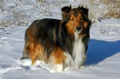 Sheltie in the Snow. My Sheltie, Marpointe's Total Timothy, pauses from his enjoyment of the snow Royalty Free Stock Photography