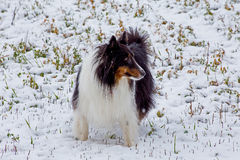 A SHELTIE IN THE SNOW Stock Image