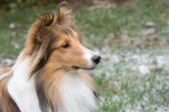Sheltie in Snowy Backyard. A Shetland Sheepdog is in his backyard during a snowfall stock photography