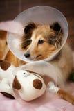Sheltie som återställer från kirurgi Arkivfoto