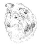 Sheltie vector hand drawing portrait Stock Image