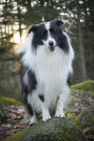 Sheltie in the Woods. A sheltie going for a walk Royalty Free Stock Photo