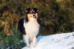 Sheltiehond in openlucht in de winter royalty-vrije stock fotografie