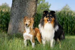 Shelties Royalty Free Stock Photography