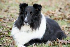 Sheltland-Schäferhundlügen, die seinen Trainer aufpassen Stockfotografie