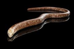 Sheltopusik或欧洲无腿的蜥蜴, Pseudopus apodus 免版税图库摄影