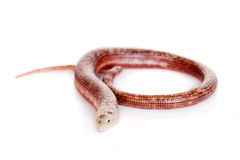 Sheltopusik or European Legless Lizard on white Stock Photos