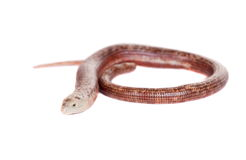 Sheltopusik or European Legless Lizard on white Royalty Free Stock Image