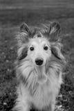 Shelty con la lingua che si siede in bianco e nero fuori fotografia stock
