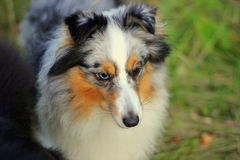 Shelty dog in grass Stock Images