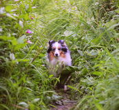 Shelty dog in grass Stock Image