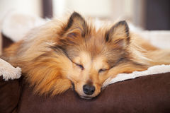 Shelty dog sleeps in dog basket Royalty Free Stock Photography