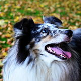 A Shelty Royalty Free Stock Photos