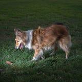 Shelty med tungan som ut sitter Royaltyfria Foton