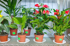 Shelves with anthurium in flower shop Royalty Free Stock Images