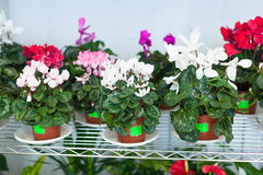 Cyclamen in pots at flower store stock photography