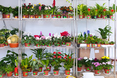 Shelves with different flowers in pots Royalty Free Stock Photos