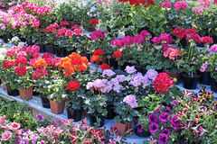 Shelves with flowers in flowerpot Royalty Free Stock Photo