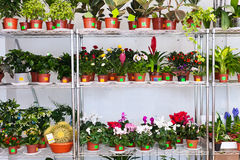 Shelves with flowers in pots. In floral shop Royalty Free Stock Photos