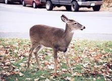 Shenandoah Park Deer on the highway 1997 Stock Photo