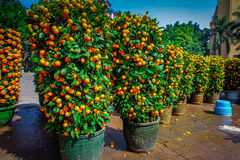 SHENZEN, CHINA - 29 JANUARY, 2017: Many mandarin bushes lined up in pots on city street, chinese tradition as part of Stock Images