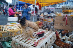 Shenzhen, China: Chicken stalls. Shenzhen Baoan Xixiang, this is an open-air chicken stalls, sales of chicken, duck, goose live poultry Stock Images