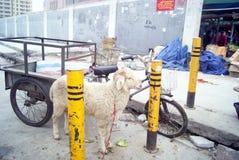 Shenzhen, china: live slaughter live sheep Stock Photo