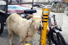 Shenzhen, china: live slaughter live sheep Royalty Free Stock Photography