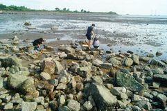 Shenzhen, China: os povos estão procurando caranguejos pequenos na praia Fotos de Stock