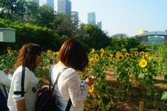 Shenzhen, China: Sunflower Garden, attracting people to watch. Spring, Sunflower Garden, attracts people to watch, on the south side of Shenzhen civic center Royalty Free Stock Photos