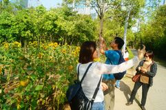 Shenzhen, China: Sunflower Garden, attracting people to watch. Spring, Sunflower Garden, attracts people to watch, on the south side of Shenzhen civic center Stock Photo