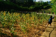 Shenzhen, China: Sunflower Garden, attracting people to watch. Spring, Sunflower Garden, attracts people to watch, on the south side of Shenzhen civic center Royalty Free Stock Photo